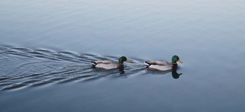mentors duck