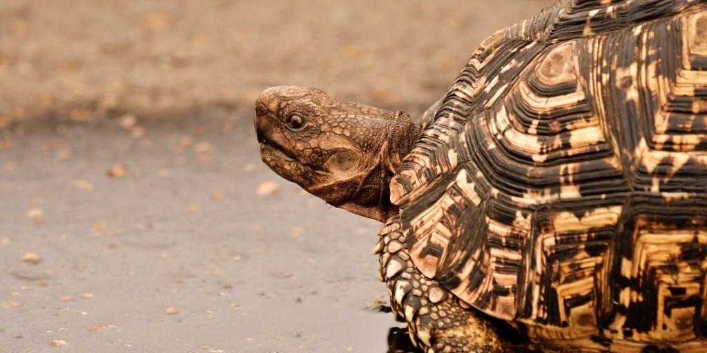optimised turtle