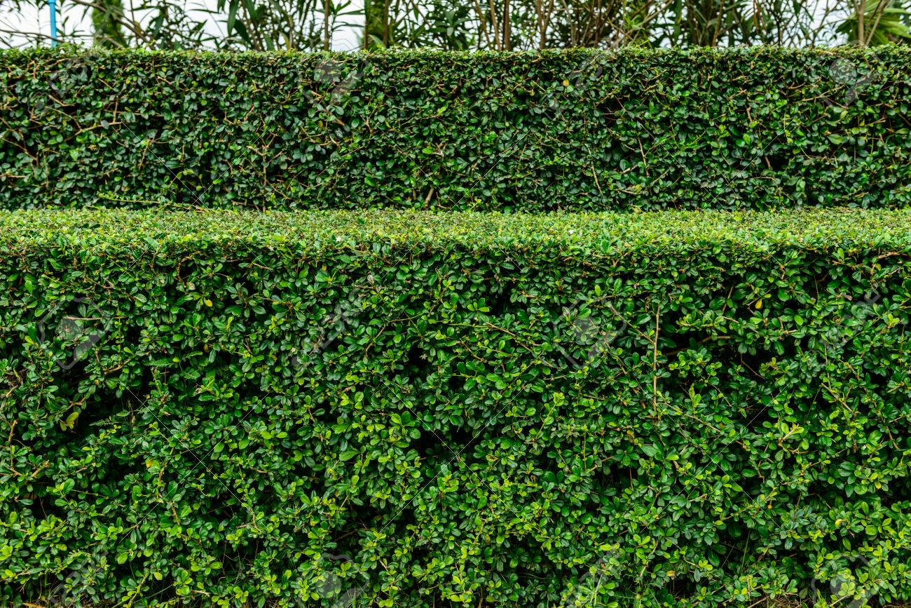 23897198-a-well-landscaped-and-manicured-hedge-of-bushes-with-mulch-and-grass-in-a-step-pattern-
